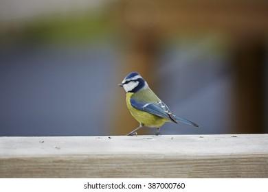 Blue Tit,Parus caeruleus,standing on a wooden fence,