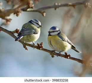 Blue Tits on a branch.