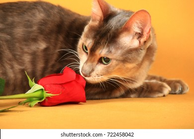 Blue Toiger lies on a yellow background and sniffs a rose
