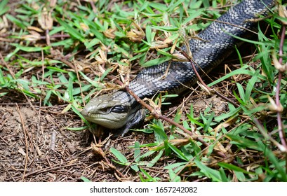 Blue tongue lizard crawling on grass,Australia