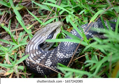 Blue tongue lizard crawling on grass; Australia.