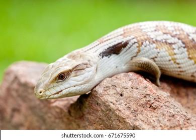 Blue Tongue Lizard on rock outdoors