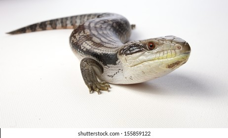 a blue tongue lizard on a white background