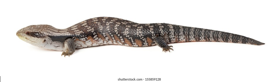 blue tongue lizard in profile on a white background
