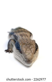 Blue Tongue Lizard (Tiliqua scincoides) isolated on white, with clipping path ... a creature with attitude! ... check out my other photos in this series