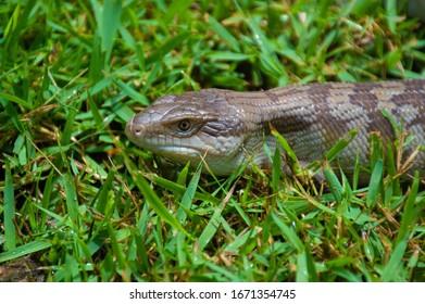 Blue Tongue Lizards from Rainforestation Nature Park Kuranda