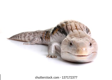 Blue Tongue Skink on a White Background