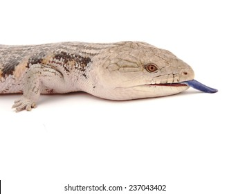 Blue tongued skink close up.