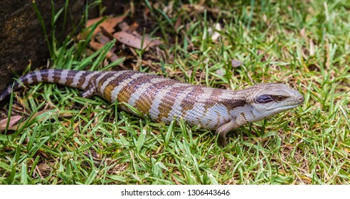 Blue tongued Skink in a garden, Upper Hunter Valley, NSW, Australia.