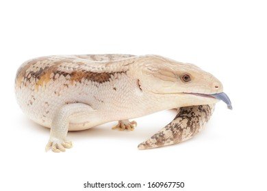 Blue tongued skink isolated in front of white background.