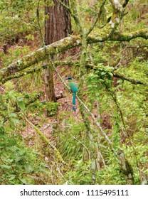 a blue torogoz, national bird of el salvador, resting over a green branch in a forest in Tegucigalpa Honduras