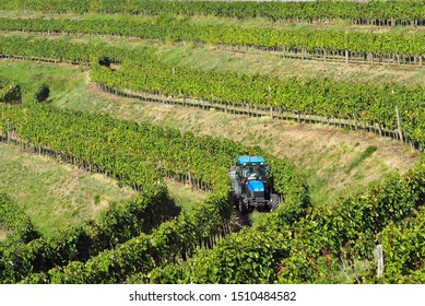 Blue tractor among the undulating rows of vineyards on the hill in Italy