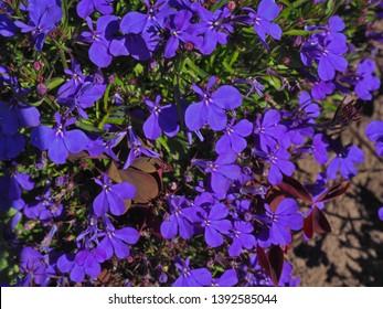 Blue Trailing Lobelia flowers close uo shot. Alpine herbs in full bloom
