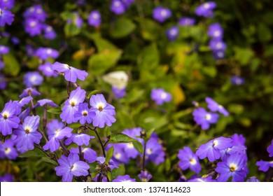 Blue Trailing Lobelia Sapphire flower field, Lobelia Erinus Sapphire or Edging Lobelia