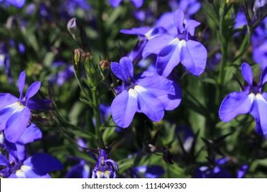 "Blue ""Trailing Lobelia Sapphire"" flowers (or Edging Lobelia, Garden Lobelia) in St. Gallen, Switzerland. Its Latin name is Lobelia Erinus 'Sapphire', native to South Africa, Malawi and Namibia."