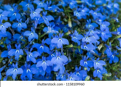 "Blue Trailing Lobelia Sapphire flowers (Its Latin name is Lobelia Erinus ""Sapphire"". Also called Edging Lobelia, Garden Lobelia)"