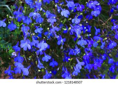 Blue Trailing Lobelia Sapphire flowers. Its Latin name is Lobelia Erinus Sapphire. Also called Edging Lobelia, Garden Lobelia