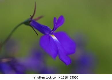 Blue Trailing Lobelia Sapphire flowers, its Latin name is Lobelia Erinus Sapphire. Also called Edging Lobelia, Garden Lobelia, Alpine herbs of Switzerland