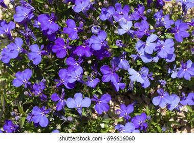 Blue Trailing Lobelia Sapphire flowers or Edging Lobelia, Garden Lobelia in St. Gallen, Switzerland photo. Its Latin name is Lobelia Erinus 'Sapphire', native to South Africa, Malawi and Namibia.