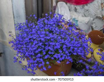 Blue Trailing Lobelia Sapphire flowers