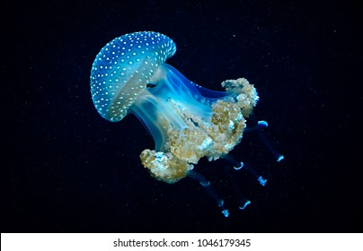 Blue transparent jellyfish floats through water