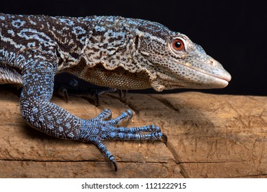 The Blue tree monitor (Varanus macraei) is endemic to  the island of Batanta in Indonesia.