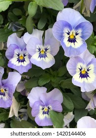 Blue tricolor pansy flowers  - viola blossom - viola tricolor