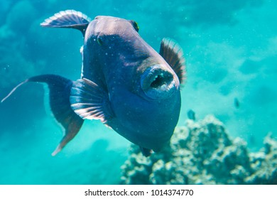 Blue Trigger fish close up portrait on coral reef.