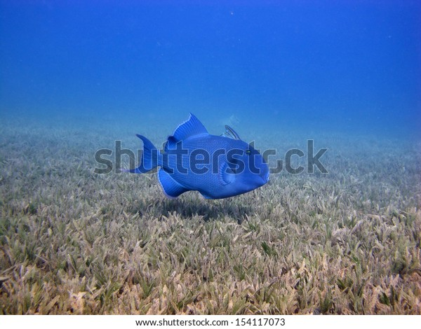 Blue triggerfish hunting in seagrass