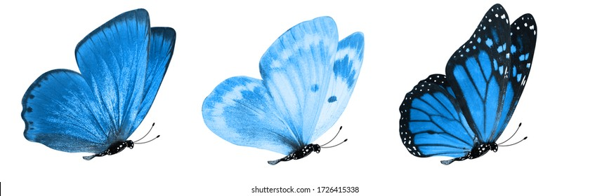 blue tropical butterflies isolated on a white background. moths for design