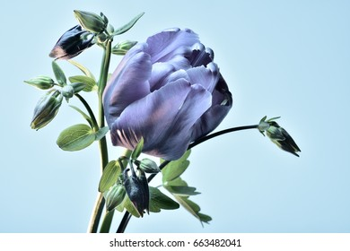 Blue tulip and flowers catchment on a blue background.
