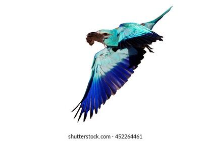 Blue and turquoise colored bird, European Roller, Coracias garrulus, flying male with mouse in beak, isolated on white background.