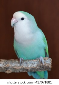 Blue Turquoise Peach faced lovebird