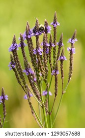 Blue vervain flowers, Verbena hastata, in a swamp