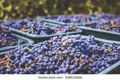 Blue vine grapes. Grapes for making ice wine. Detailed view of a frozen grape vines in a vineyard in autumn. Hungary wine.