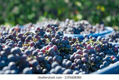 Blue vine grapes. Grapes for making wine. Detailed view of Cabernet Franc red grape vines in the hungarian vineyard in autumn