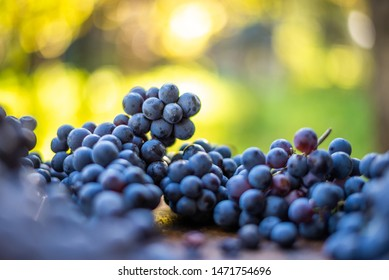 Blue vine grapes. Grapes for making wine. Detailed view of Cabernet Franc blue grape vines in the hungarian vineyard in autumn, Hungary