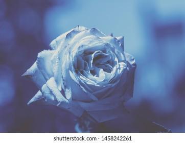 Blue vintage flower background. Rose against blue background. Artictic color correction