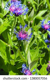 Blue violet cornflowers on a green meadow surrounded by grass on a bright somnolent day. Little bee collects nectar from a blooming flower on a green backround.