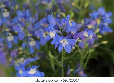 blue violet delphinium flowers