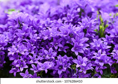Blue or violet flowers bells in stone pot. Campanula blossom close up.