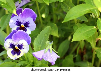 Blue violet flowers tricolor on a green background in the garden, great contrast, natural colors.