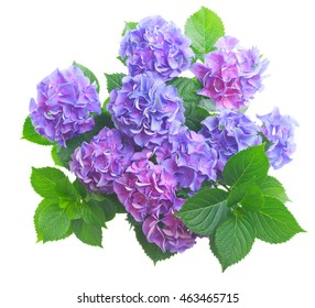 blue and violet fresh hortensia flowers with green leaves isolated on white background