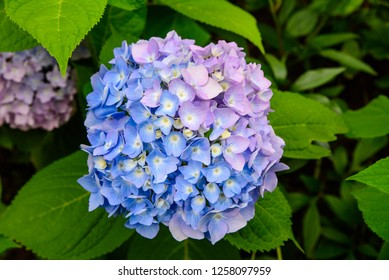 Blue and violet hortensia flowers, close up view