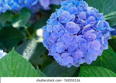 blue and violet hortensia flowers with green leaves floral background