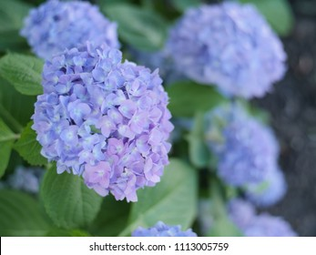 Blue and violet hydrangea flowers