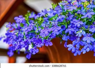 Blue violet Lobelia erinus Sapphire flowers or Edging Lobelia, Garden Lobelia a popular edging plant in gardens for hanging baskets and window boxes.