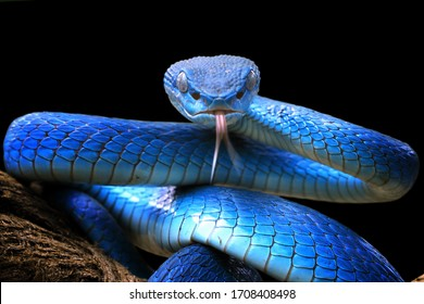 Blue viper snake closeup face, head of viper snake, Blue insularis, Trimeresurus Insularis, animal closeup