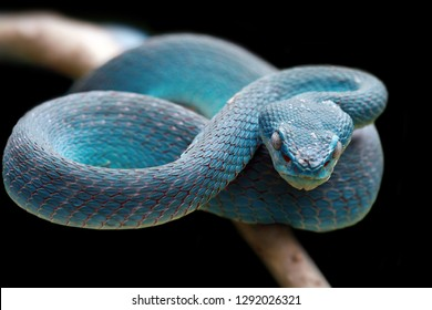 Blue viper snake on branch, viper snake, blue insularis, Trimeresurus Insularis