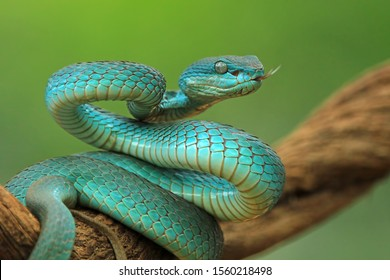 Blue viper snake on branch, viper snake ready to attack, blue insularis, animal closeup